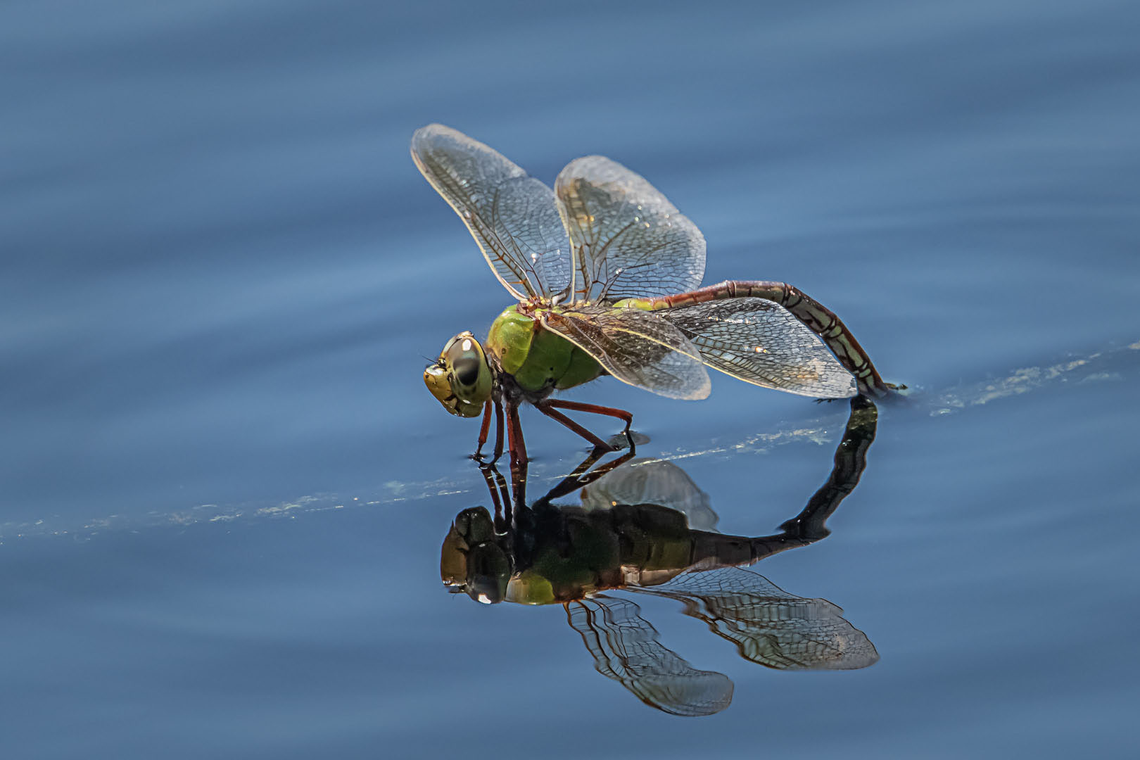 Robert Bateman – Female Green Darner – 2ND