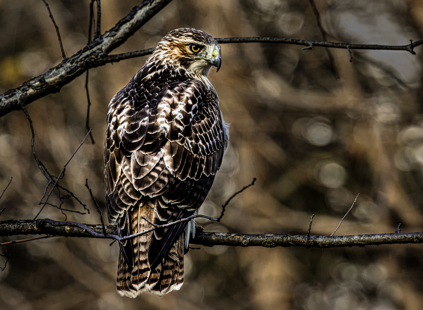 Sandra Hawkins – Immature Red-tailed Hawk – 3RD