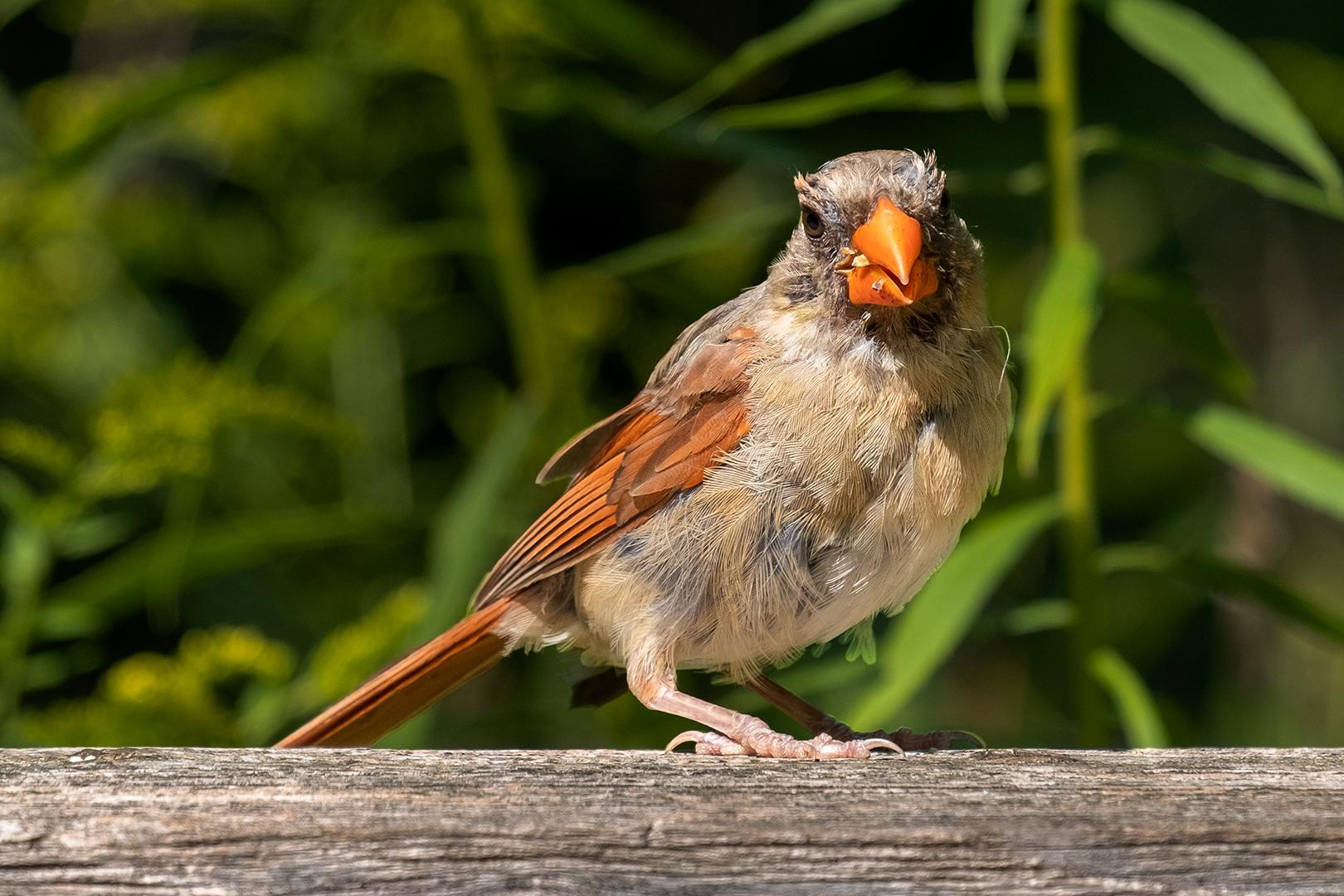 Bain Myers – Cardinal Discovers Camera – HM