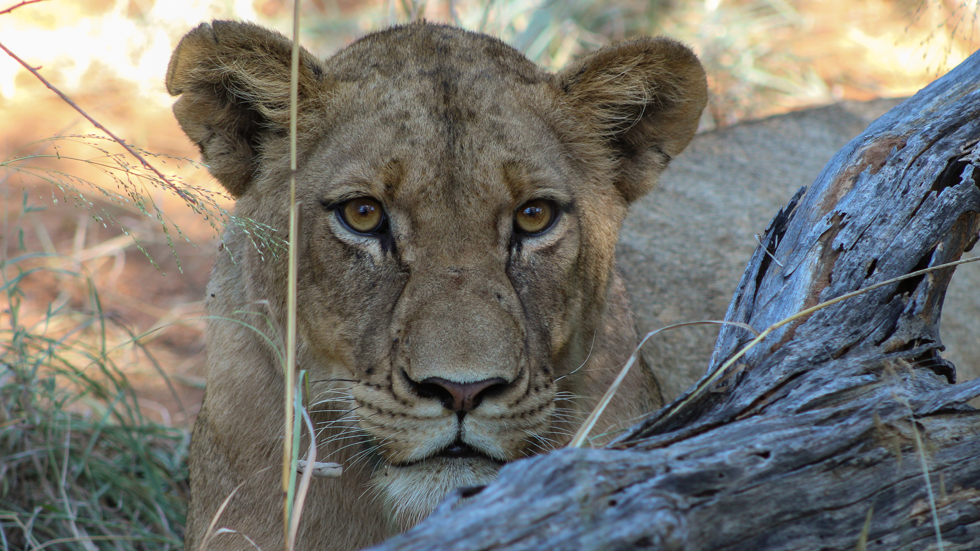 Lorry Cumming – Lioness Makalali Game Reserve – HM