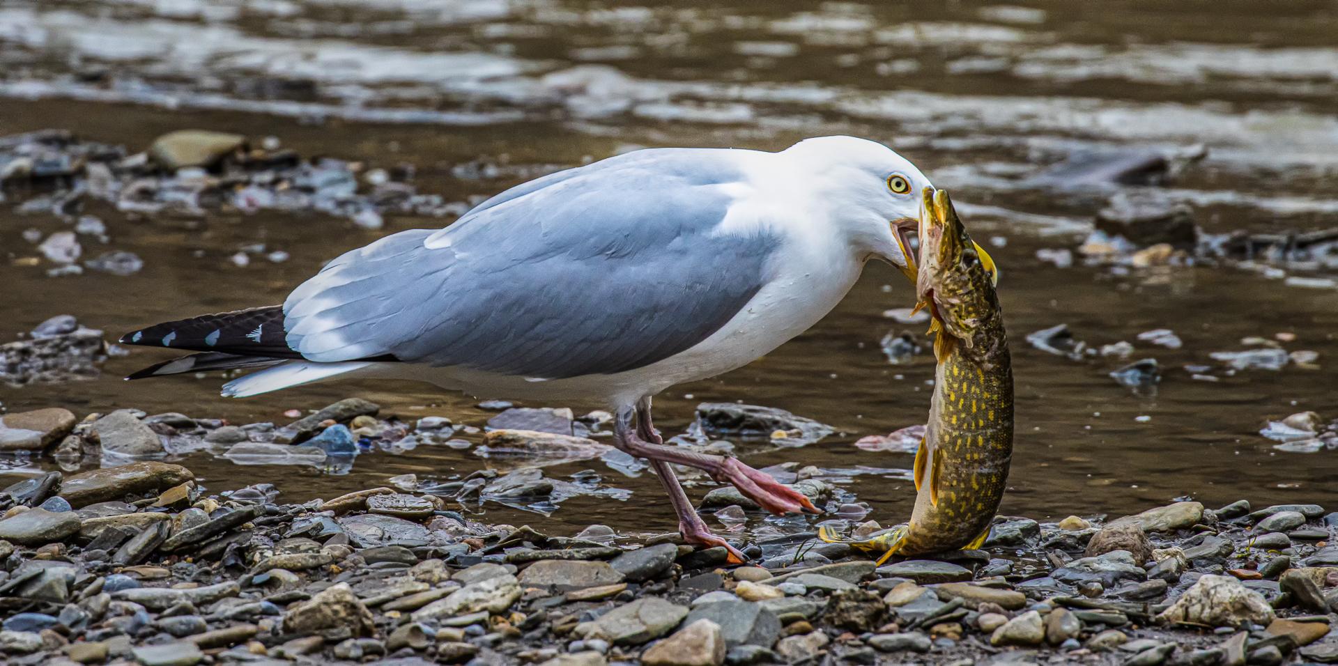 Sandra Hawkins – Herring Gull with Pike – 2ND