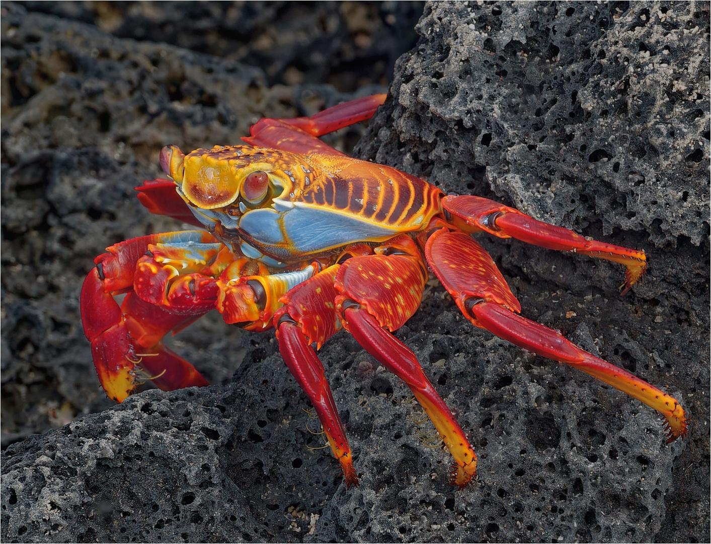 Susan Robertson – Sally Lightfoot Crab – 1ST